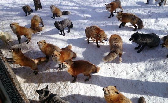 여우마을-먹이를 기다리는 여우